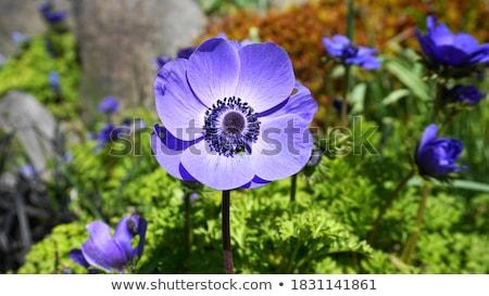 poppy anemone stock photo © jsnover