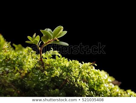 Hillock green cowberry Stock photo © RuslanOmega