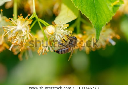 Blooming linden, lime tree in bloom Stock photo © lightpoet