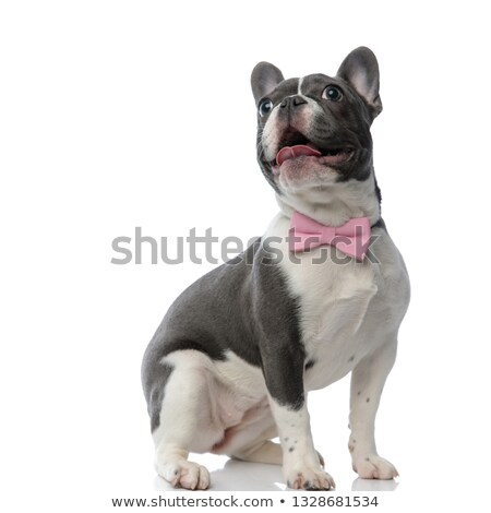curious and adorable french bulldog panting and sitting Stock photo © feedough