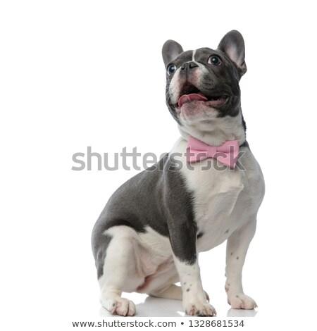 Curieux adorable français bulldog haletant séance Photo stock © feedough