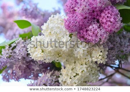 arbusto · belo · flor · folha · jardim - foto stock © taviphoto
