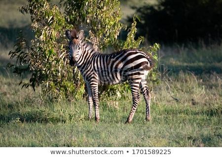 Zebra in the bush Stock photo © ajlber