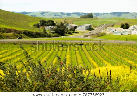 Winter in Californian Vineyards Stock photo © emattil