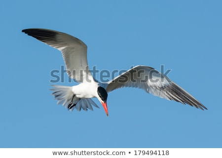 Caspian Tern flying in a blue sky Stock photo © davemontreuil