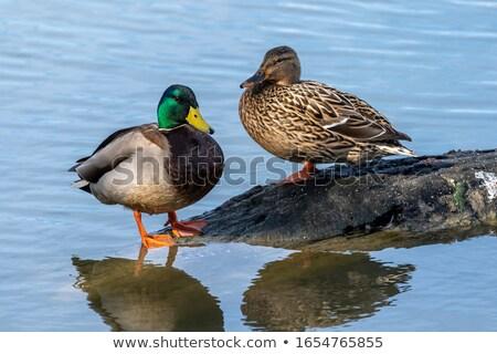 couple mallards stock photo © ivonnewierink