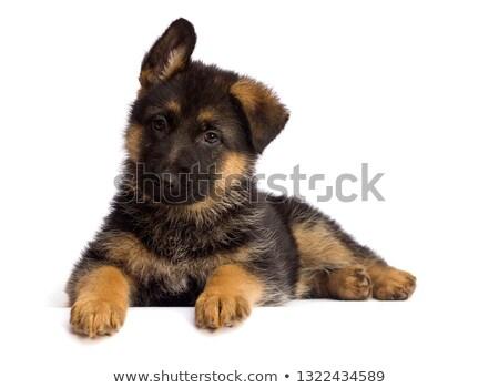 çoban · polis · köpek · çim · güvenlik · sonbahar - stok fotoğraf © nejron