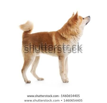 日本語 犬 肖像 屋外 ストックフォト © vtls
