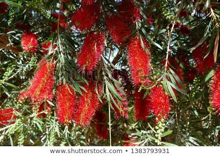 kırmızı · kırmızı · çiçekler · yeşil · yeşillik · yerli · kır · çiçeği - stok fotoğraf © lianem