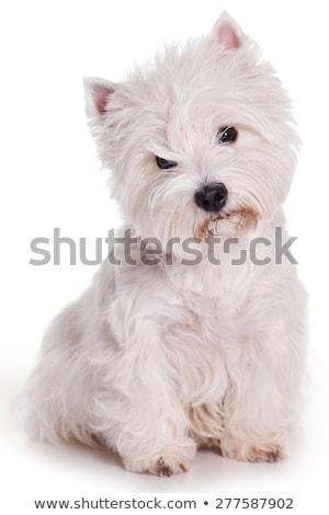 Stúdiófelvétel aranyos nyugat fehér terrier ül Stock fotó © vauvau