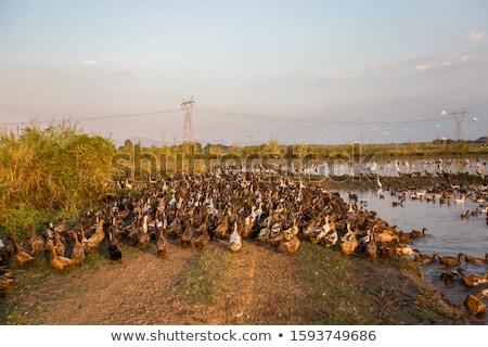 flock of ducks forage food in rice field Stock photo © galitskaya