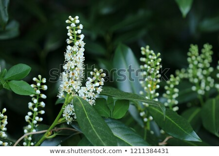 Blossoms of an evergreen cherry laurel bush Stock photo © manfredxy