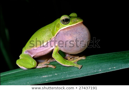 Tree frog courtship Stock photo © Ansonstock