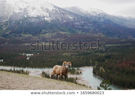 Rocky Mountain Bighorn Sheep Stock photo © photoblueice