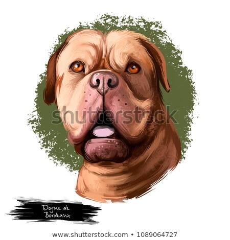 Bordeaux dog or French Mastiff Stock photo © eriklam