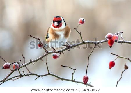 凍結 · バラ · ヒップ · 花 · 自然 · デザイン - ストックフォト © joannawnuk