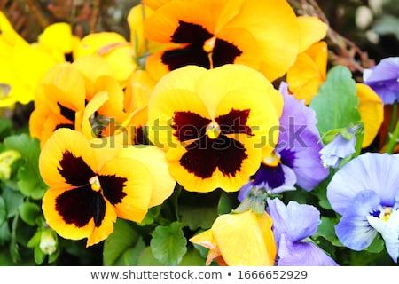 Stock photo: Yellow pansies