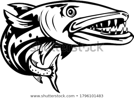 Barracuda Stock photo © Laracca