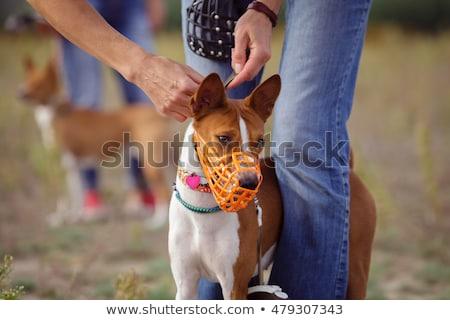Kutya torkolat fej fajtiszta staffordshire terrier férfi Stock fotó © cynoclub