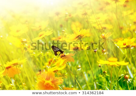 black and yellow butterfly on yellow flowers stock photo © calvste