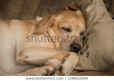 czarny · labrador · retriever · szczeniak · jesienią · lasu · baby - zdjęcia stock © feedough