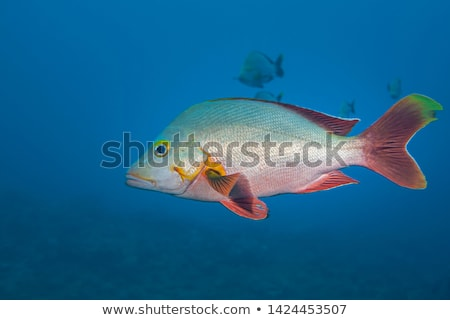 fish - lutjanus gibbus Stock photo © cookelma