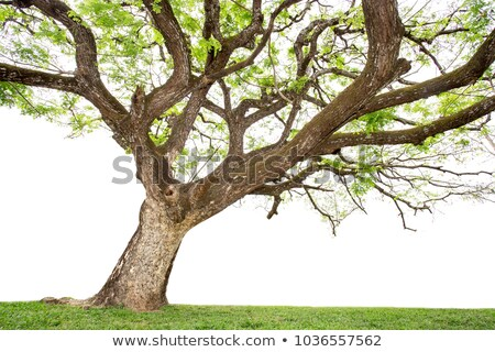 dead dried oak tree isolated on white stock photo © pzaxe