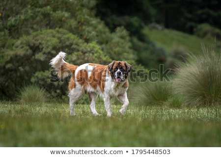 cute saint bernard purebred puppy stock photo © tobkatrina