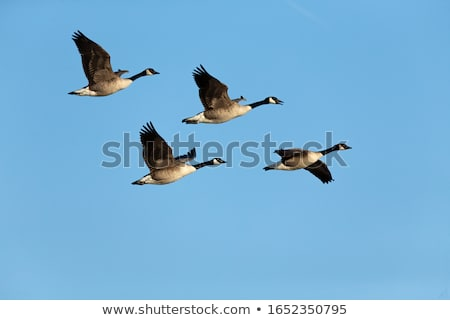 Canada ganzen vlucht groep oppervlak vijver Stockfoto © brianguest