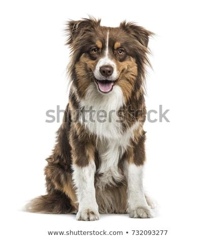Foto stock: Australiano · pastor · branco · cão · feliz