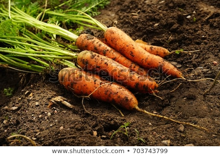 Photo stock: Carrot In The Ground