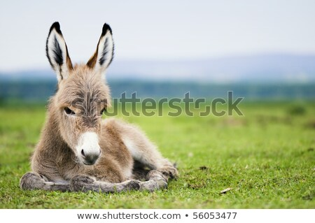 Veulen baby ezel portret natuur Stockfoto © stevanovicigor