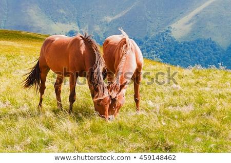 kettő · lovak · testtartás · közelkép · kilátás · fű - stock fotó © raywoo