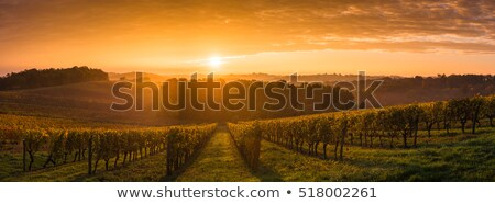 vineyard in the morning stock photo © ifeelstock
