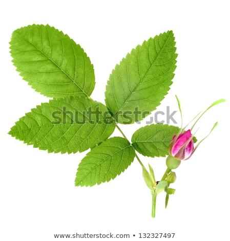 Dog rose with leaf and bud Stock photo © boroda