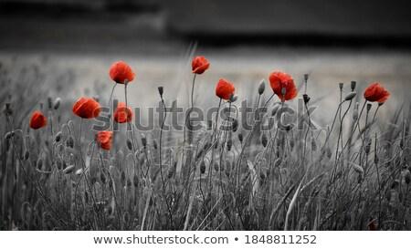 Klaprozen houten kruisen dag oorlog poppy Stockfoto © trgowanlock