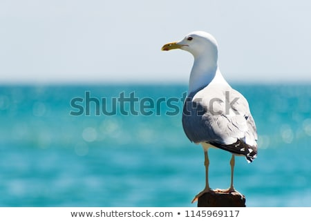 Seagull close up and blue sky. Stock photo © latent