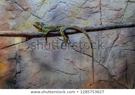 Stockfoto: Iguana On A Tree Crawling And Posing