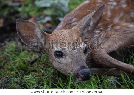 tiny whitetail deer fawn stock photo © mybaitshop