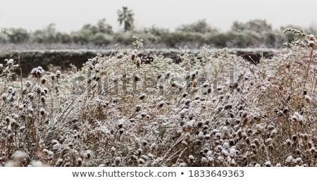 congelada · plantas · prado · backlight · flor · textura - foto stock © lunamarina