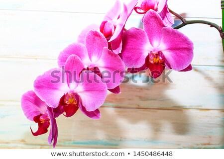 Roxo orquídea flor foco extremo Foto stock © aladin66