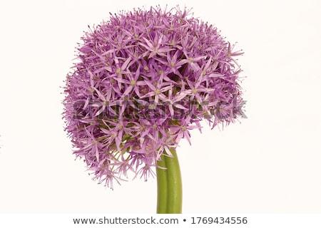 Allium giganteum (Giant Onion) Background Stock photo © tainasohlman