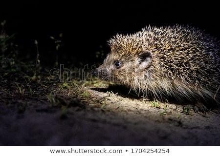 Kirpi gece yüz çim doğa yürüyüş Stok fotoğraf © ryhor