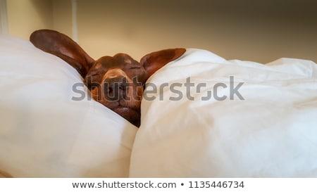 怠惰な 犬 ラッキー 寝 草 ストックフォト © artlens