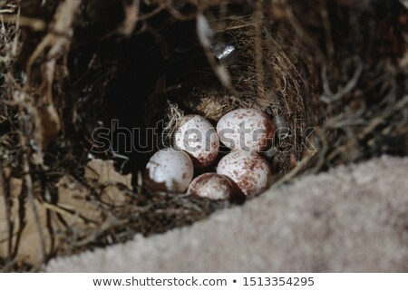 Wrens Nest with Eggs Stock photo © StephanieFrey