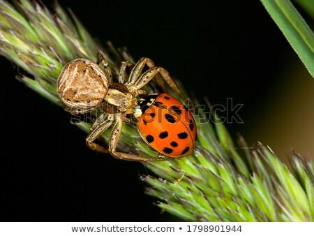 Joaninha aranha ouvido comida verão campo Foto stock © sfinks
