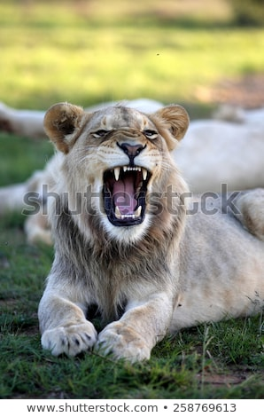 young lion growls nature stock photo © oleksandro