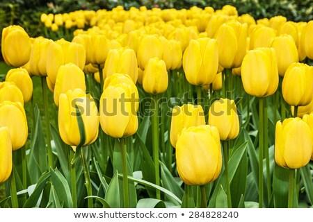 新鮮な · 黄色 · 春 · チューリップ · 花 · 自然 - ストックフォト © oleksandro