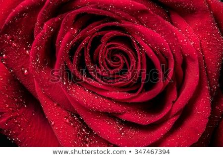 kırmızı · gül · tomurcuk · karanlık · kırmızı · çiçek - stok fotoğraf © nalinratphi