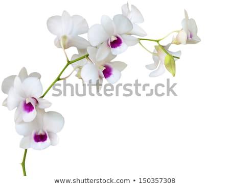 Een orchidee bloem geïsoleerd witte bastaard Stockfoto © Yongkiet